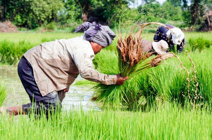 カンボジア米農家へ殺菌剤の規制が義務化