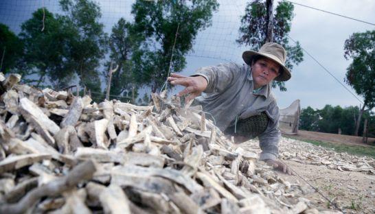 カンボジア、キャッサバの価格が急落