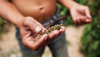 カンポットペッパー、降水量減少により収穫量減少の危機