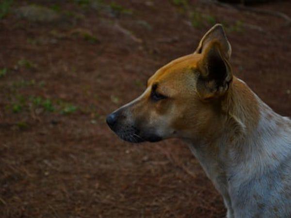 カンボジアでは毎年800人が狂犬病で死亡! 狂犬病ってなに? カンボジアで対処すべきこと